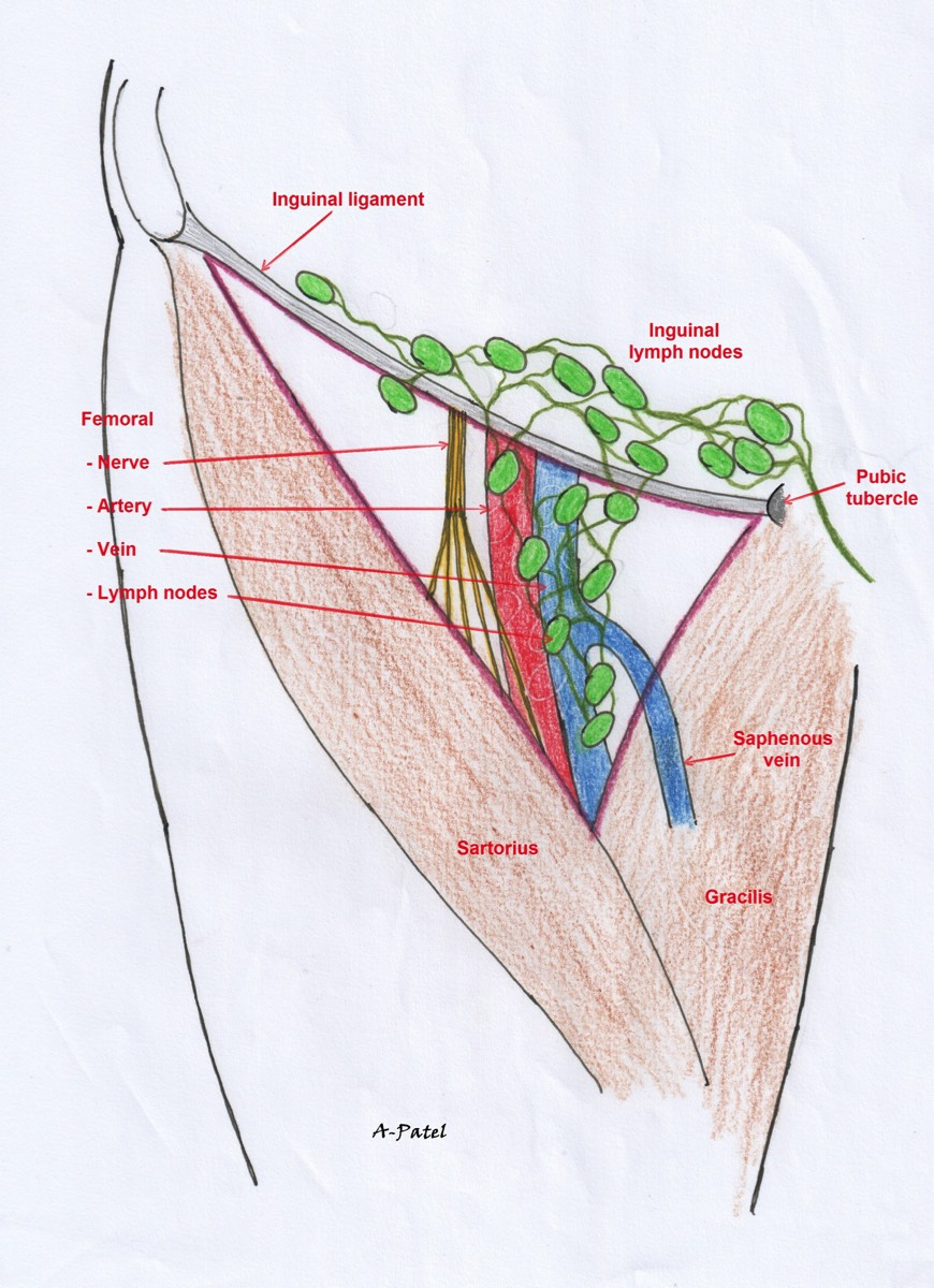 Amazing Femoral Triangle Anatomy Ornament - Physiology Of Human Body ...